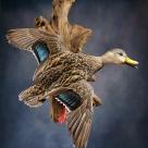 Hybrid Florida Mottled Duck